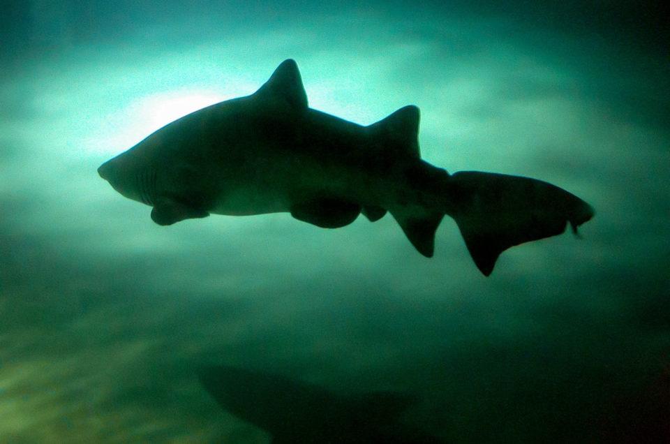 Old Photo   New Adjustments: Murky Shark